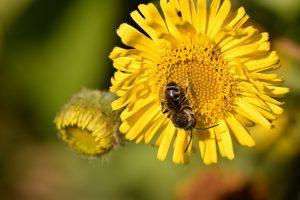 Bienen und Blüten